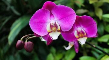 Por qué no florecen las orquídeas