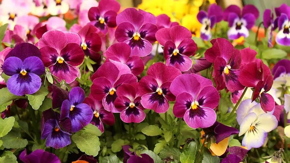 Flores ornamentales de jardín