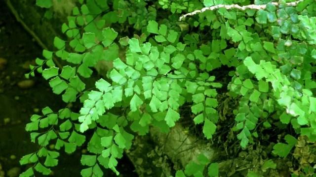 planta decorativa interior culantrillo