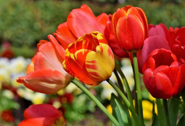 Tulipán planta decorativa