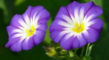 Convolvulus tricolor, Don Diego, Campanilla