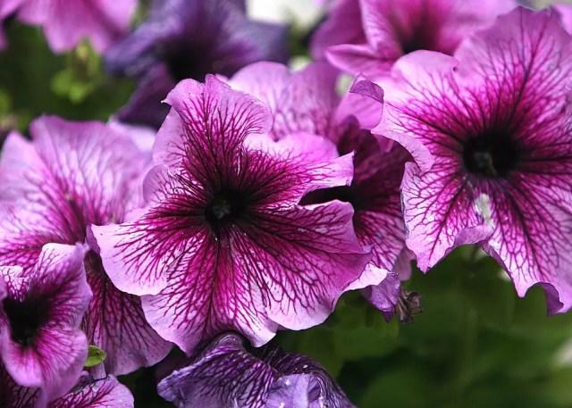 Petunia flor decorativa
