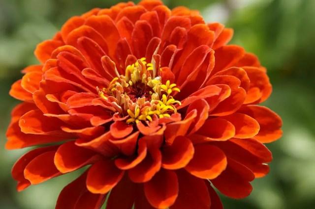 Zinnia flor