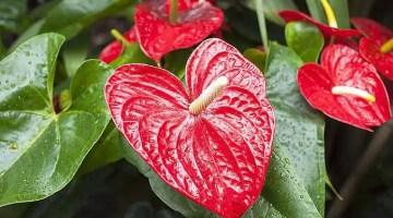 Significado del anturio la flor del amor