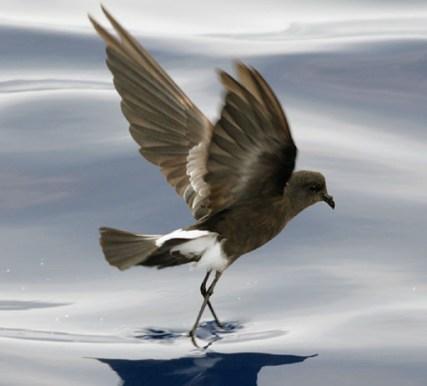 Wilson's Storm Petrel birds