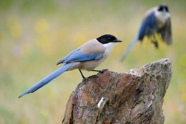 azurewingedmagpie birds
