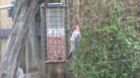 One of the common birds at a feeder is the Red-bellied Woodpecker