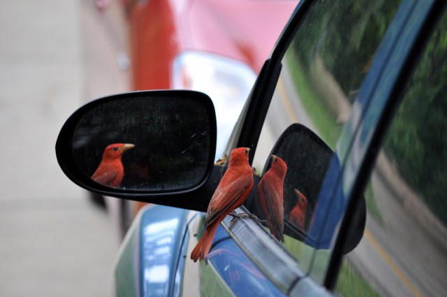 Bird_and_reflections,_automobile_window_and_mirror