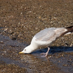 seagull-393227_640