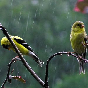 birds in the rain