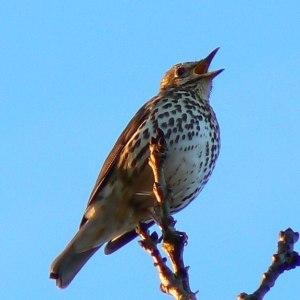 song thrush avian