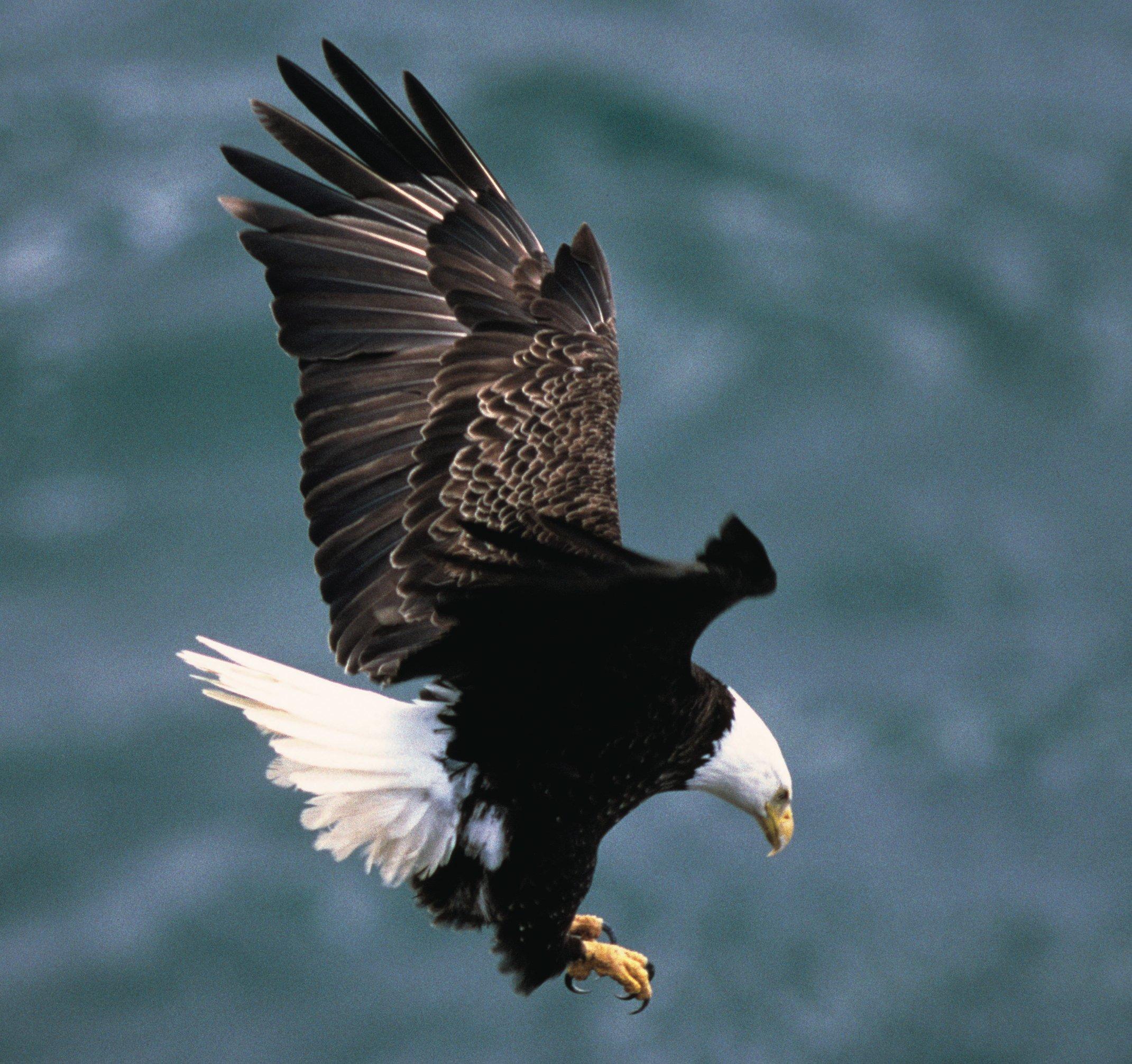 The Bald Eagle Ornithology