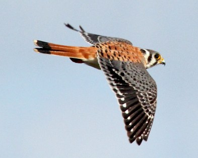 16558-an-american-kestrel-in-flight-pv