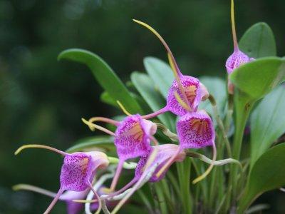 Orquídea Masdevallia