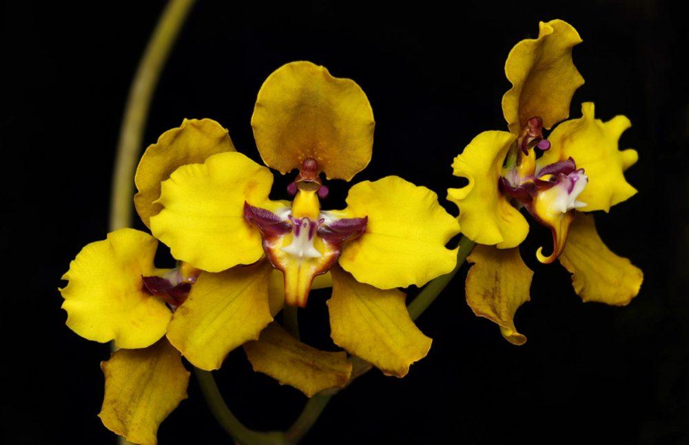 Oncidium macranthum
