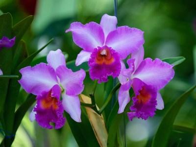 Orquídea flor