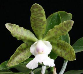 Cattleya aclandiae var alba