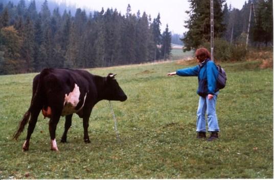 Krowy_3