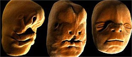 desenvolvimento face embrião