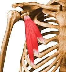 Músculo peitoral menor