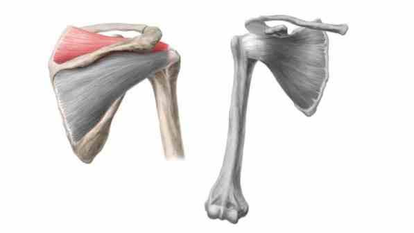 Músculo supraespinhal do manguito rotador