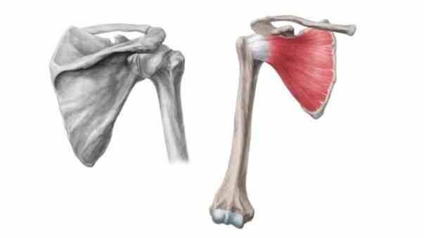 Músculo subescapular do manguito rotador