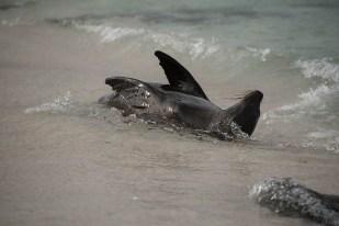Seelöwe -Isla Fernandina
