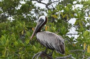 Pelikan - Isla Isabela