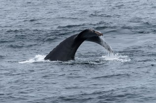 Buckelwal - Galapagos