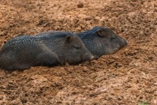 etwas andere Wildschweine