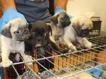Sotto il mirino della Guardia di Finanza la vendita di cuccioli di cane
