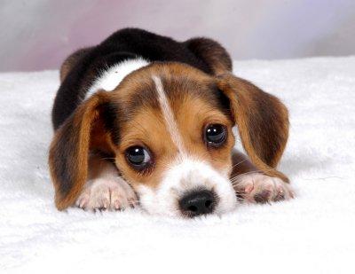 """Orvieto ospita 36 Beagles provenienti dal """"lager"""" di Green hill"""