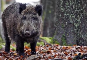 Le condizioni dettate alla Regione Umbria dai cacciatori di cinghiale