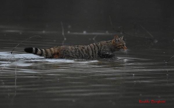 Avvistamento straordinario all'Oasi di Alviano: un gatto selvatico lungo 1,20 metri