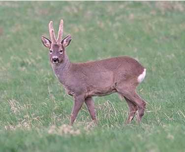 Sospesa caccia di selezione alle specie capriolo e daino. Dal 12 agosto fino a nuova disposizione