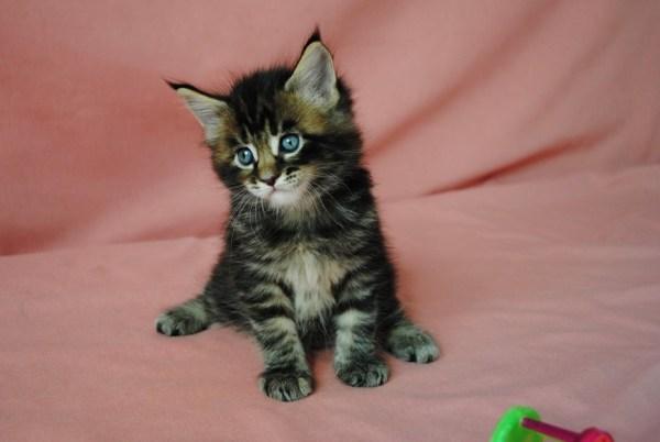 Фото котенок, котята, мей-кун, мейн-кун, мейн кун, мейнкун ...