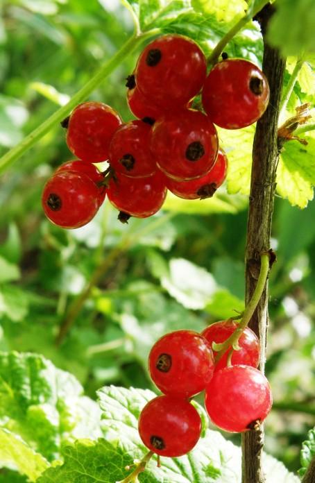 Фото природа, ягоды