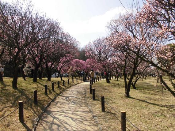 Plum grove of Kozen Park