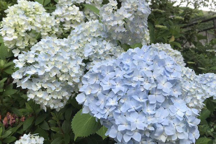 大阪で紫陽花(アジサイ)が綺麗な人気おす