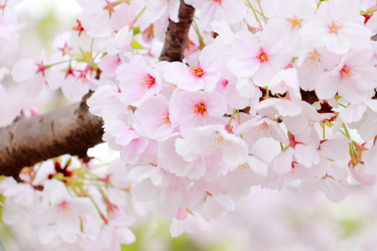 【Cherry blossoms in