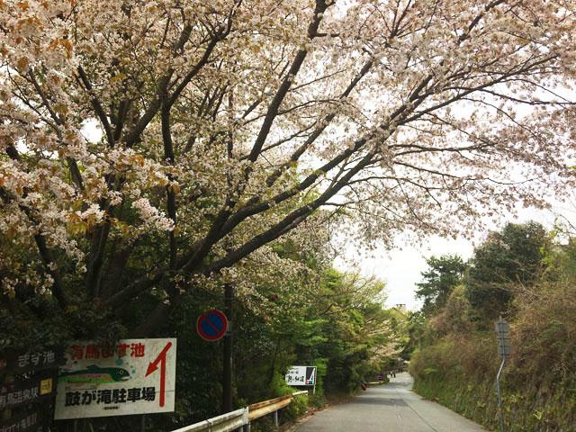 六甲有馬ロープウェイの六甲温泉駅から有馬温泉街への道,道路の脇にある木に桜が咲いている様子,