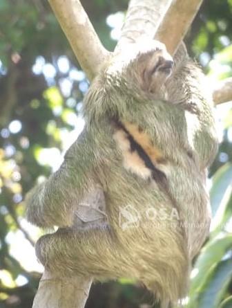 sloth manuel antonio national park