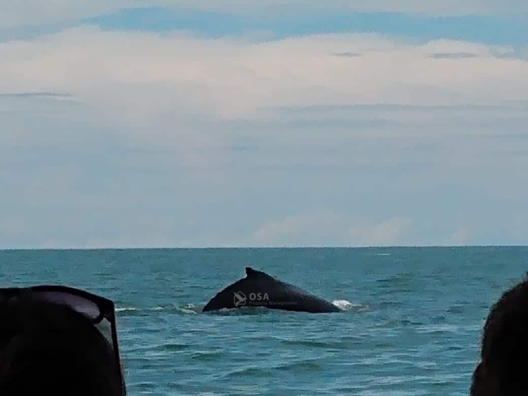 uvita whale watching tour breaching