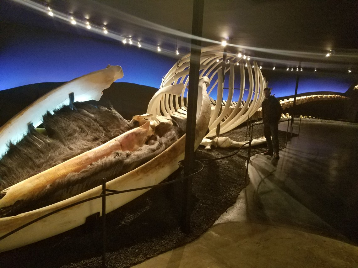 Blue whale skeleton + Evan. Love the perspective!