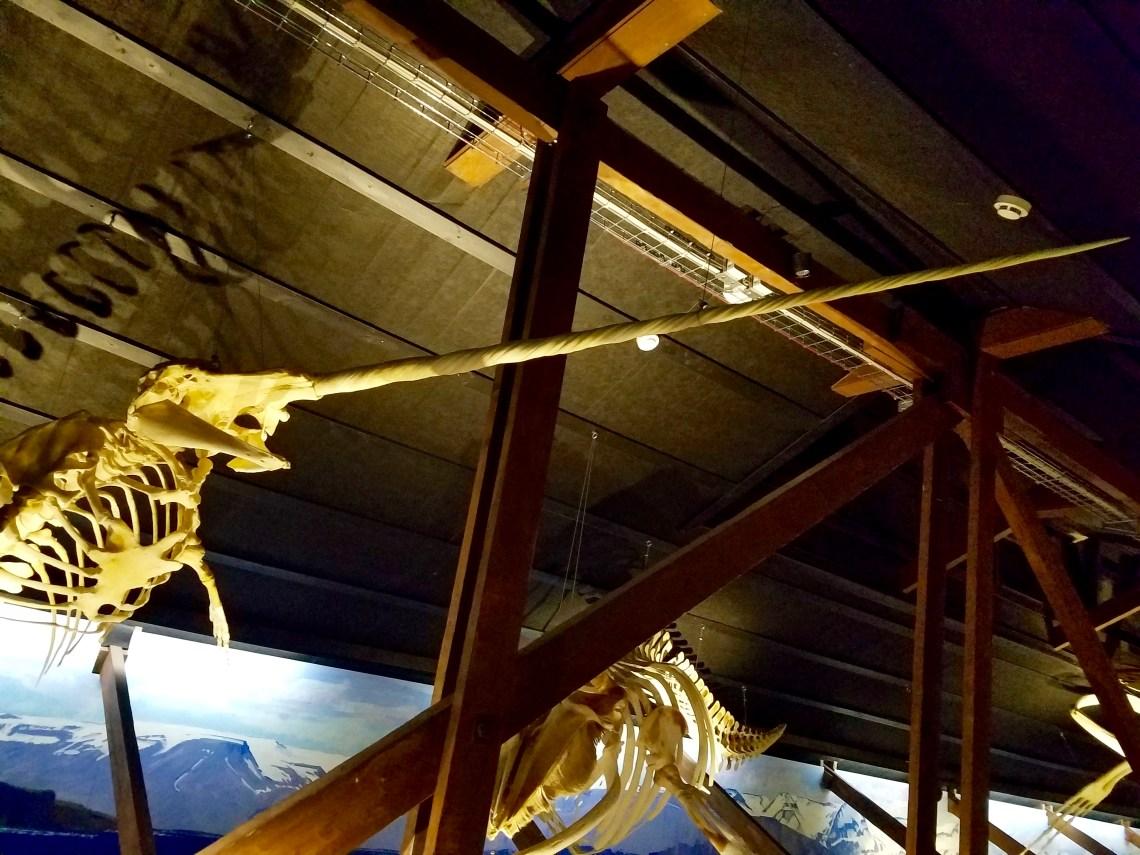 A Narwhal skeleton.