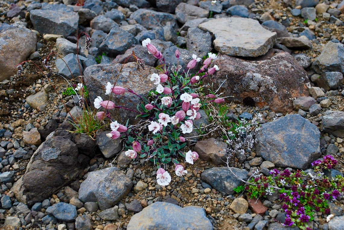 sweet arctic blooms