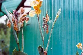 William_Eggleston_flowers_o
