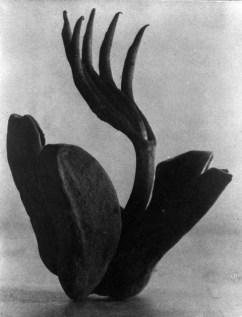 Tina Modotti. Flor de manita 1924