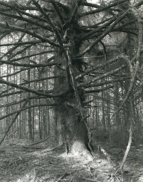 3. Sitka spruce, Capo Blanco State Park, Curry Country, Oregon (30)