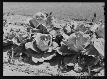 Russell Lee. Jimmy Lee Shadd in his mother's cabbage patch at the FSA (Farm Security Administration) farm workers community Gridley California